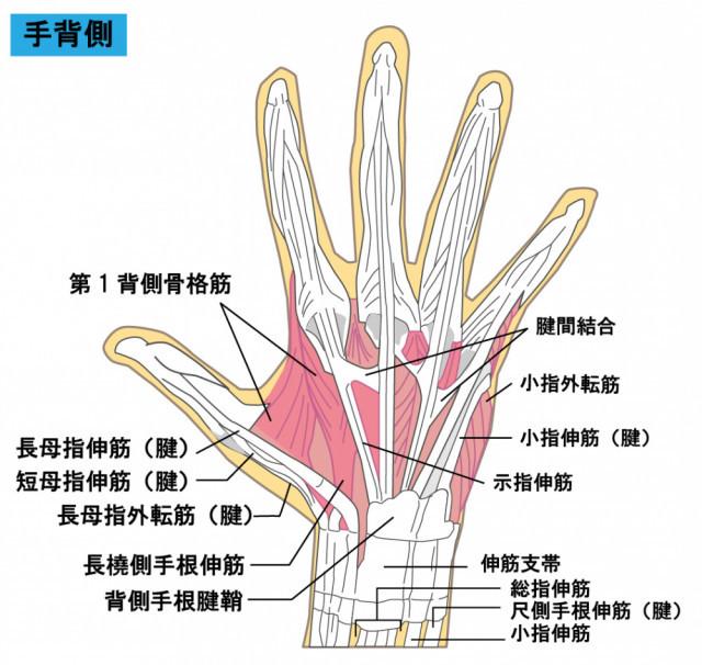指の筋や関節のイラスト