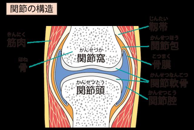 関節の構造のイラスト